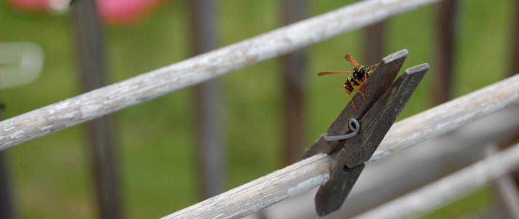 summer_wasp
